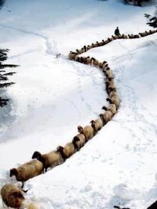 Sneeuwschapen